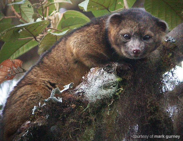 The Olinguito - discovery of a new species