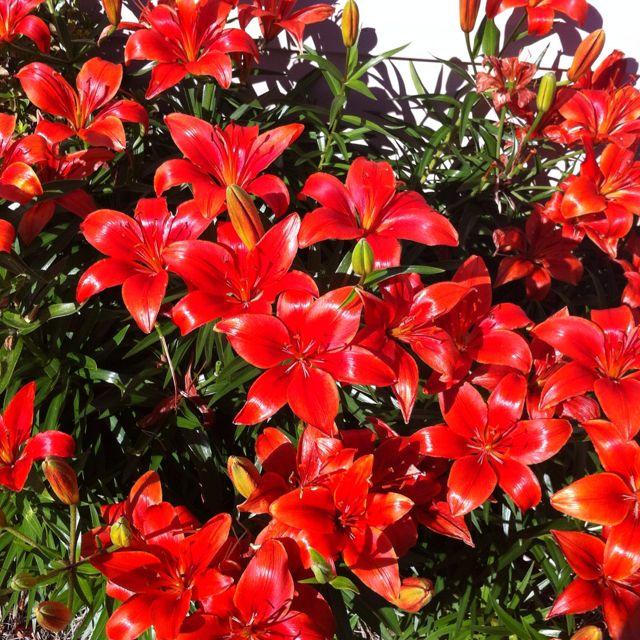punaiset liljat ovat kukkiessaan mahtava näky