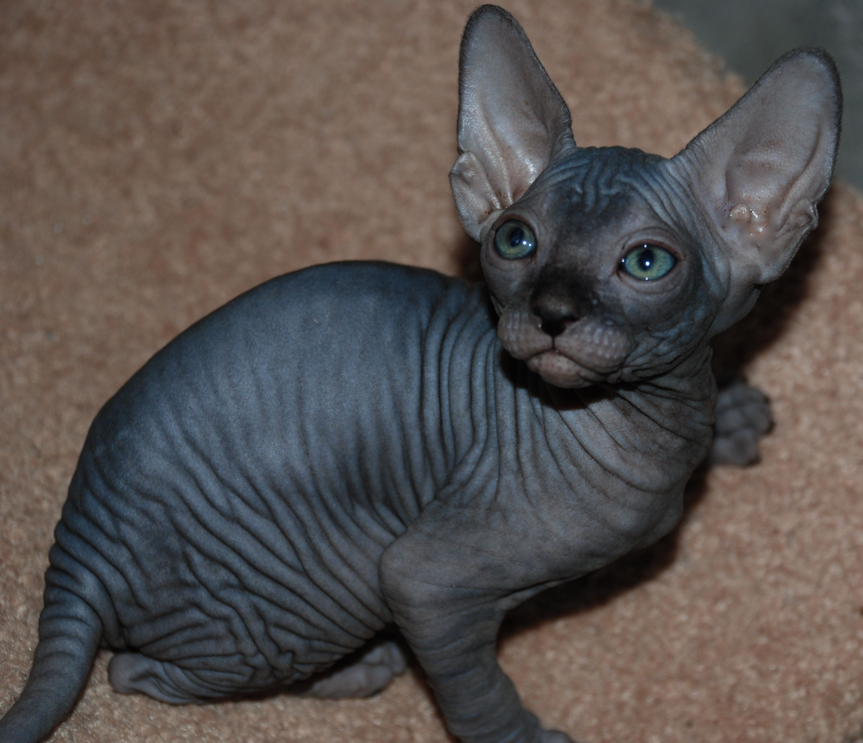 black hairless kitten Heavenly Creatures Pinterest