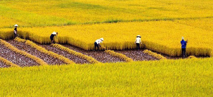 xem-hinh-anh-canh-dong-lua-chin-vang-dep-nhat-viet-nam-2015-(11)