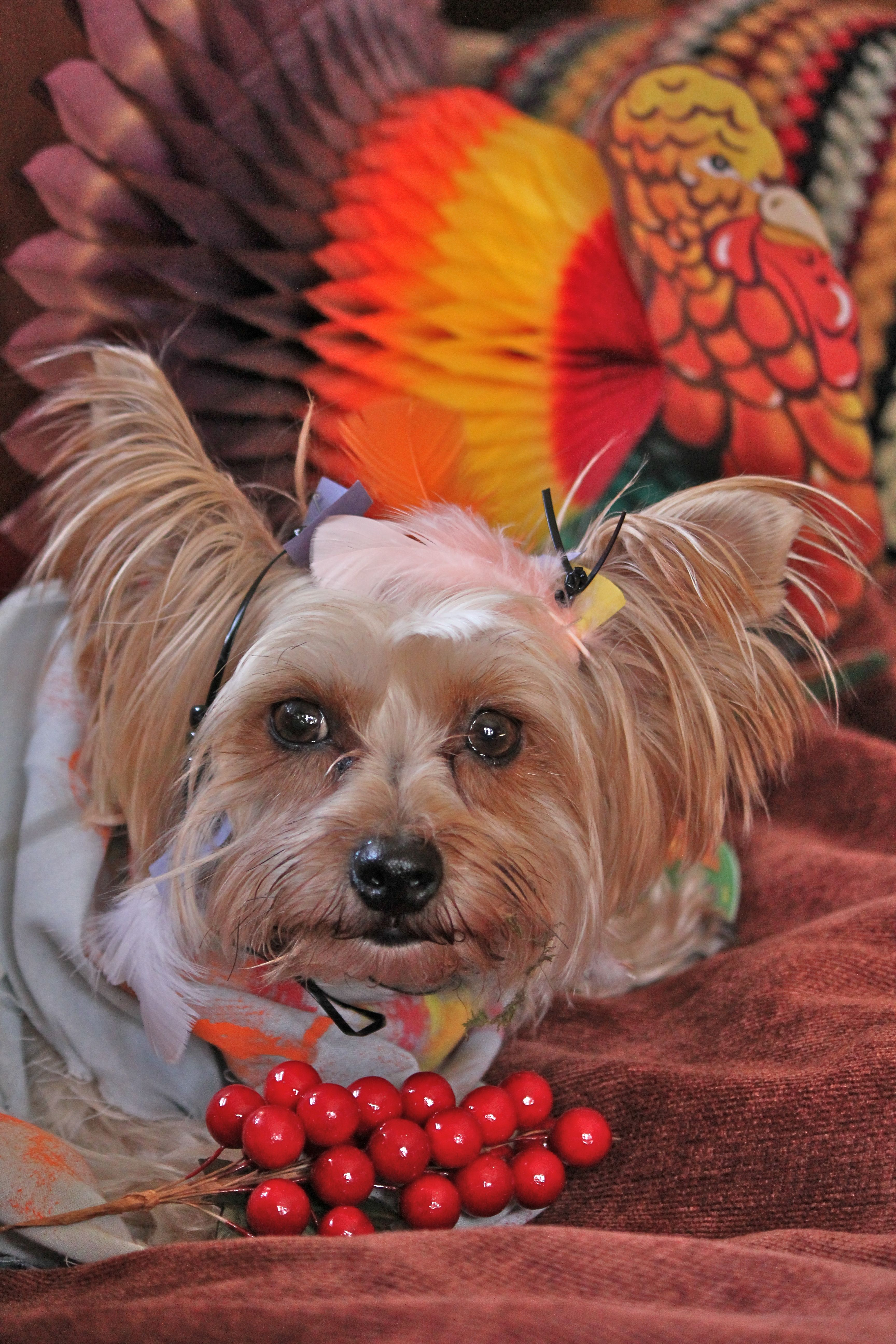 dog pics thanksgiving   ... dogs in costume tags dog costumes dog photography thanksgiving & dog pics thanksgiving   ... dogs in costume tags dog costumes dog ...