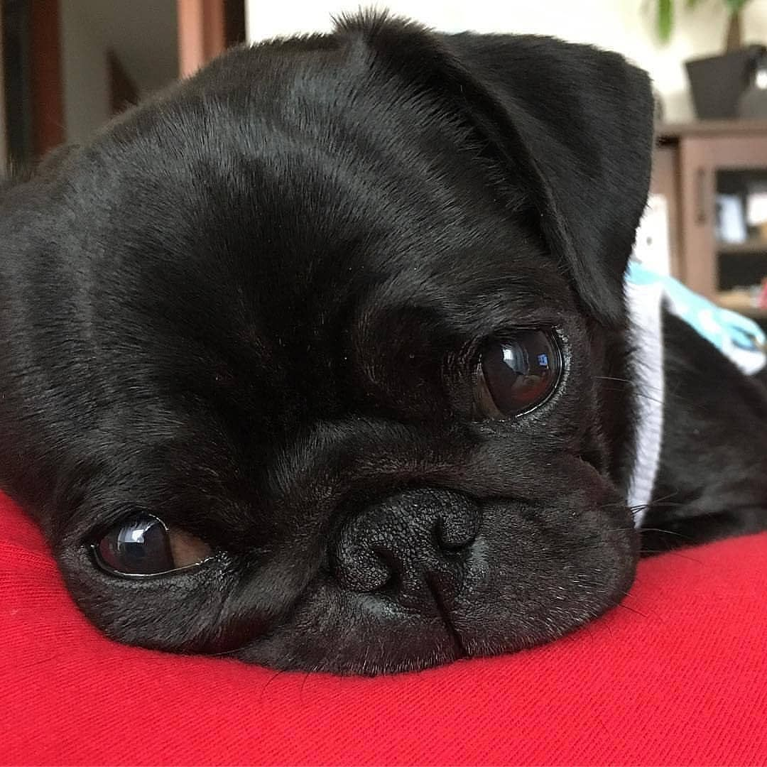 Pug Lovers Club on Instagram: ""