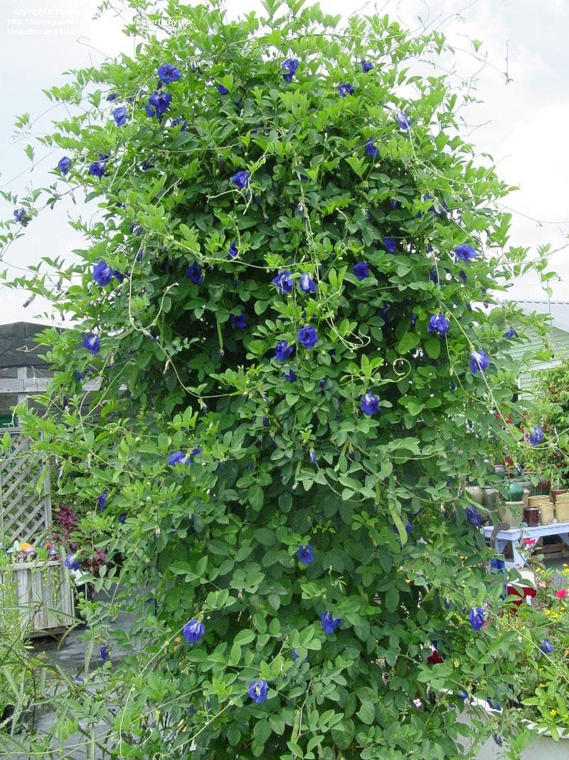View picture of Blue Pea Vine, Butterfly Pea 'Blue Sails