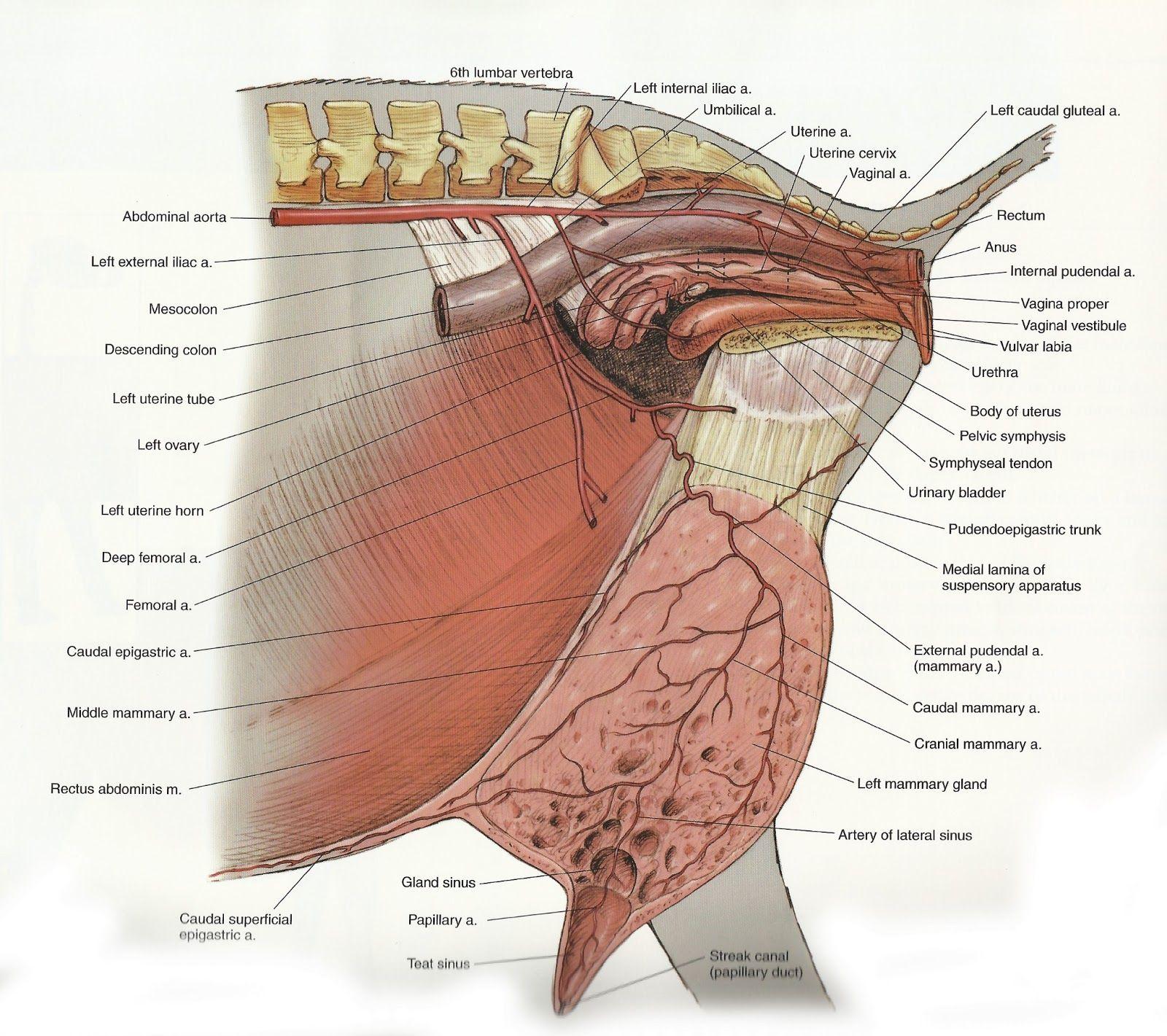 Archer\'s Acres: Anatomy : Capra hircus | vet stuff | Pinterest