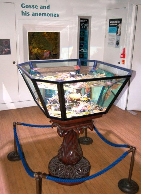 The Horniman Museum's aquarium is one of London's oldest surviving aquaria. Frederick Horniman is said to have been inspired to construct an aquarium in the Museum after viewing the Horniman Aquarium at the Great Exhibition site. Founded in 1903 under the supervision of eminent zoologist and ethnographer Alfred Cort Haddon (1855-1940). Haddon was a correspondent of Phillip Henry Gosse (1810-1888), the Victorian naturalist consulted by Charles Darwin.