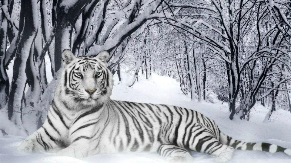 Un Jour Un Theme Page 489 Tigre Blanc Animaux Tigre De Neige