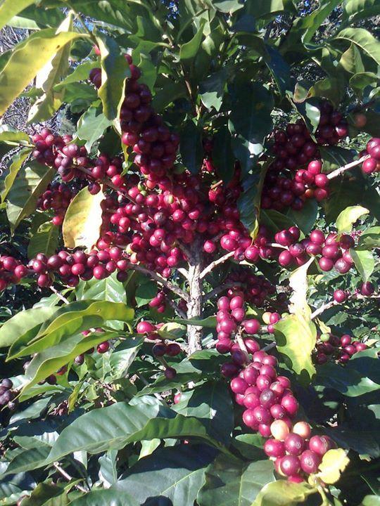 nuestro grano de oro mata de café tan linda mi costa rica