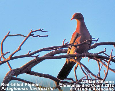 Red-billed Pigeon  Patagioenas flavirostris  Accidental  Two published sight records: