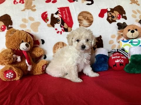Litter Of 4 Maltipoo Puppies For Sale In Scottsdale Az Adn 20076