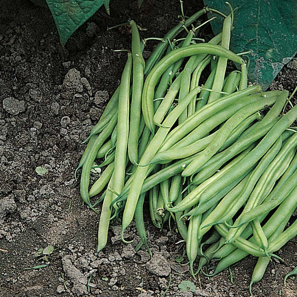 Dwarf Bean Nomad Pea Bean Seeds Thompson Morgan Beans Pea Beans Bean Seeds