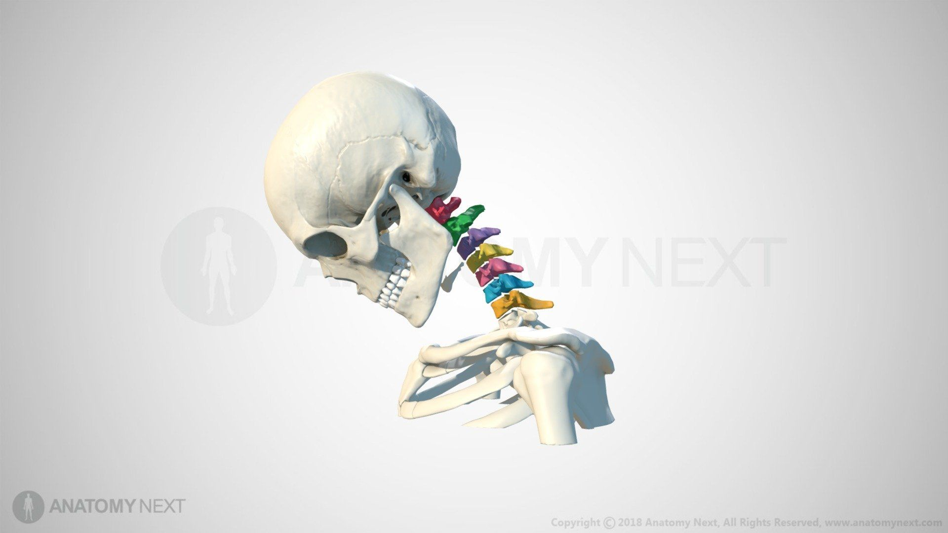Neck Animation by Anatomy Next - Interactive 3D model on Sketchfab ...
