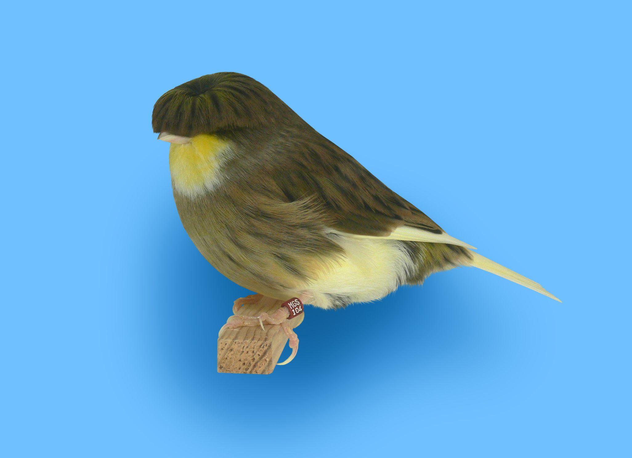 best gloster 2012 u0026 2013 variegated buff corona hen bred in