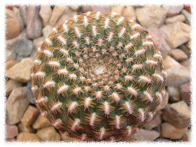 cactus y crasas: Aloe