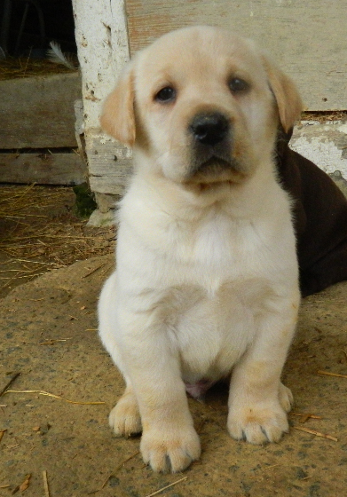 Litter Of 11 Labrador Retriever Puppies For Sale In Mount Pleasant