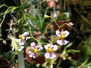 Tolumnia variegata