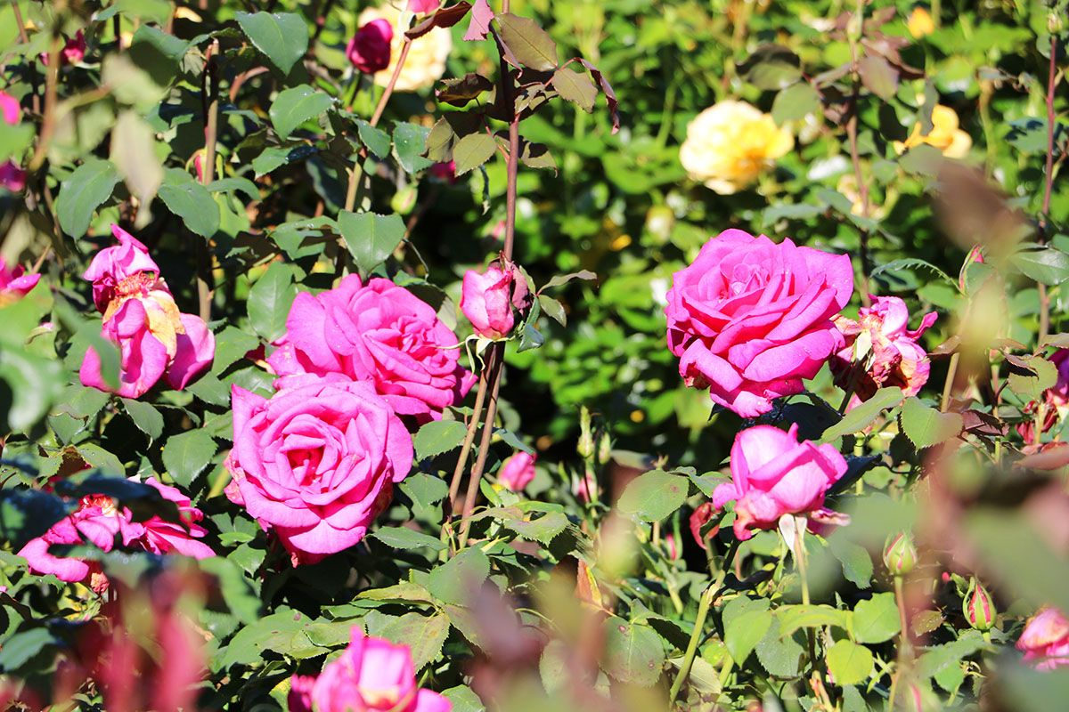 The Rose Garden At Hever Castle Kent Roses Rosegarden