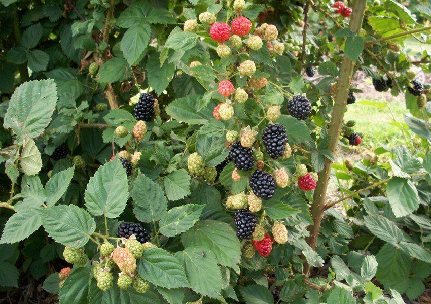 Blackberries Ready April Blackberry Tree Raspberry Trellis Plants