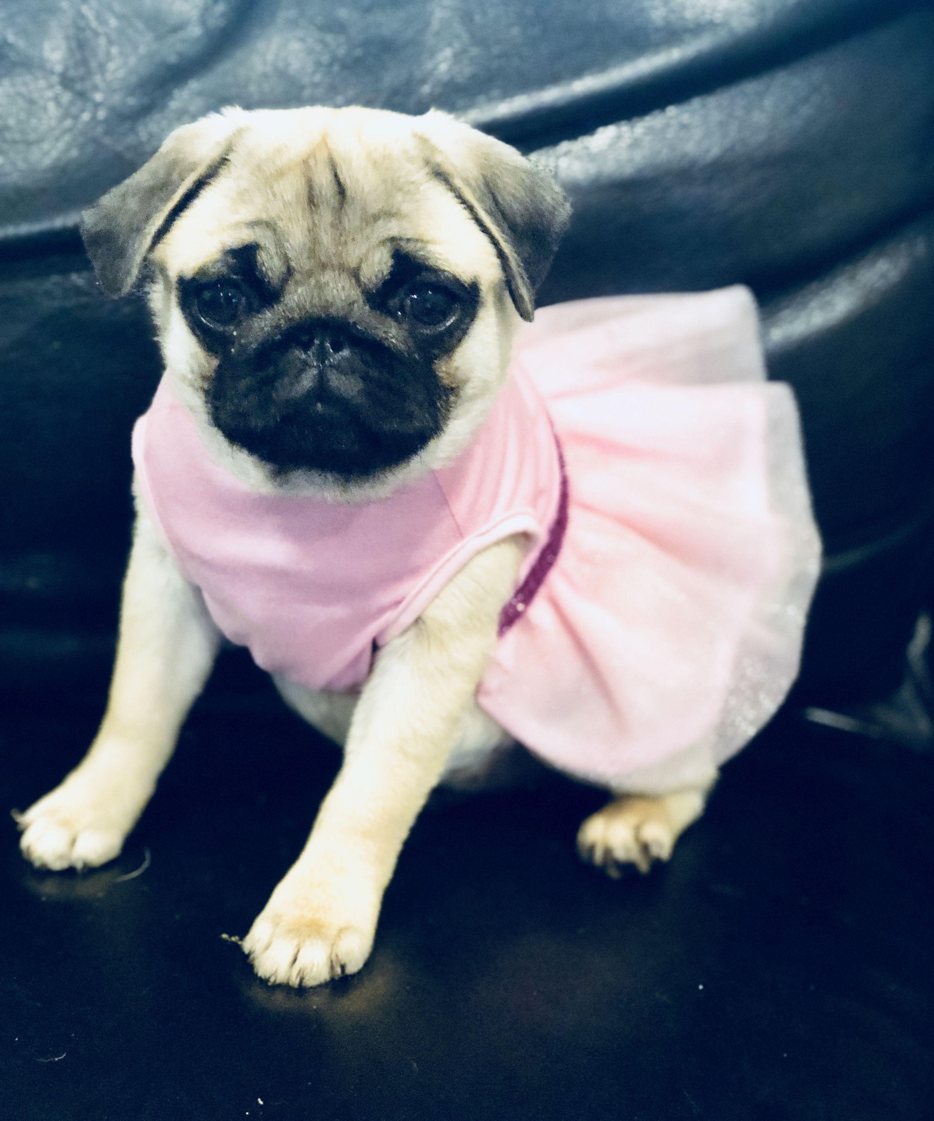 Dog In A Dress Violet The Pug My Pug Pug Puglife Pugpuppies