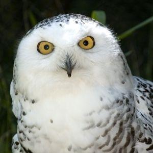Baby Snowy Owls Google Search Woodland Park Zoo Beautiful Owl Owl