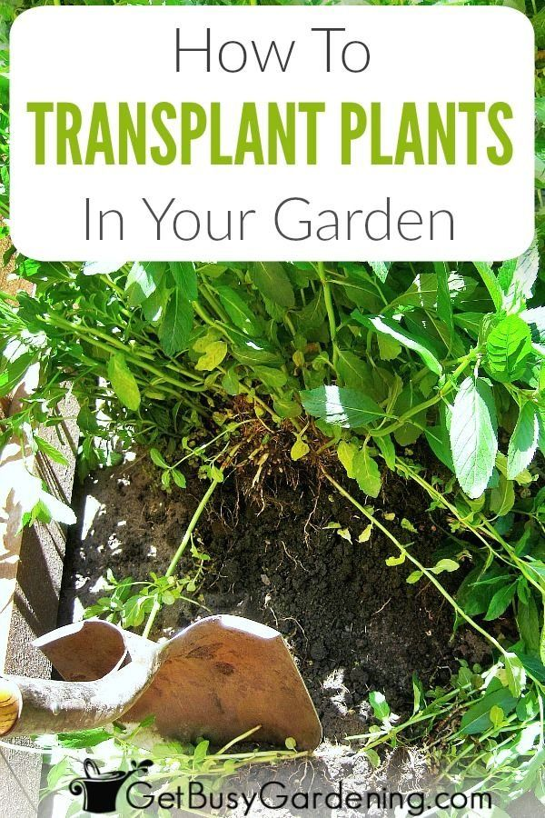 How To Transplant A Plant In Your Garden Get Busy