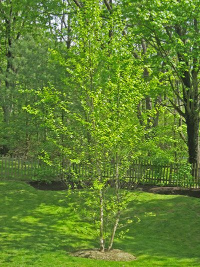 birch river mature singles The river birch tree is best known for its scaly, exfoliating bark we offer clump river birch and single stem river birch trees for purchase.
