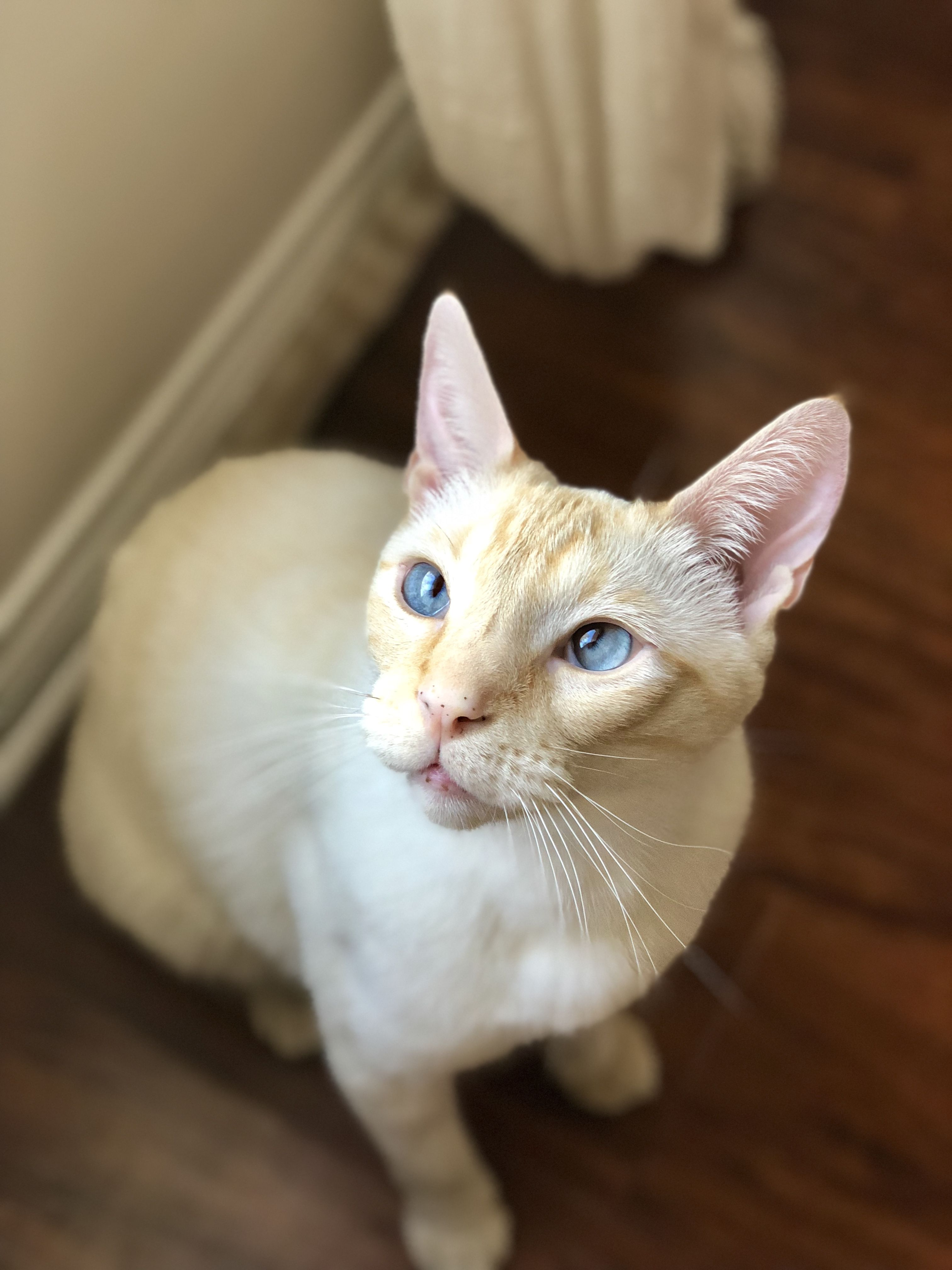 Flame Point Siamese White Cat Blue Eyes Siamese Cats Cats