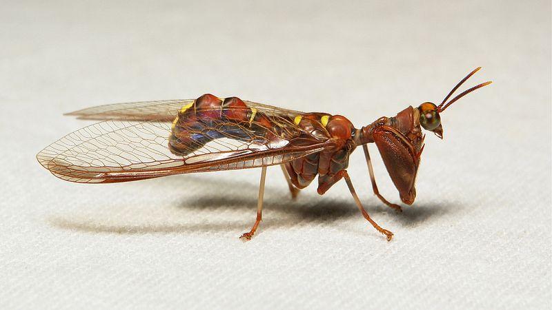 Mantisfly (Entanoneura sinica, Mantispidae, Neuroptera)