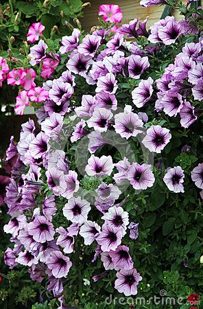 Flowering Petunia Flowers With Purple Download From Over 54 Million High Quality Stock Photos Images Vectors Sign Up For Petunias Purple Petunias Flowers