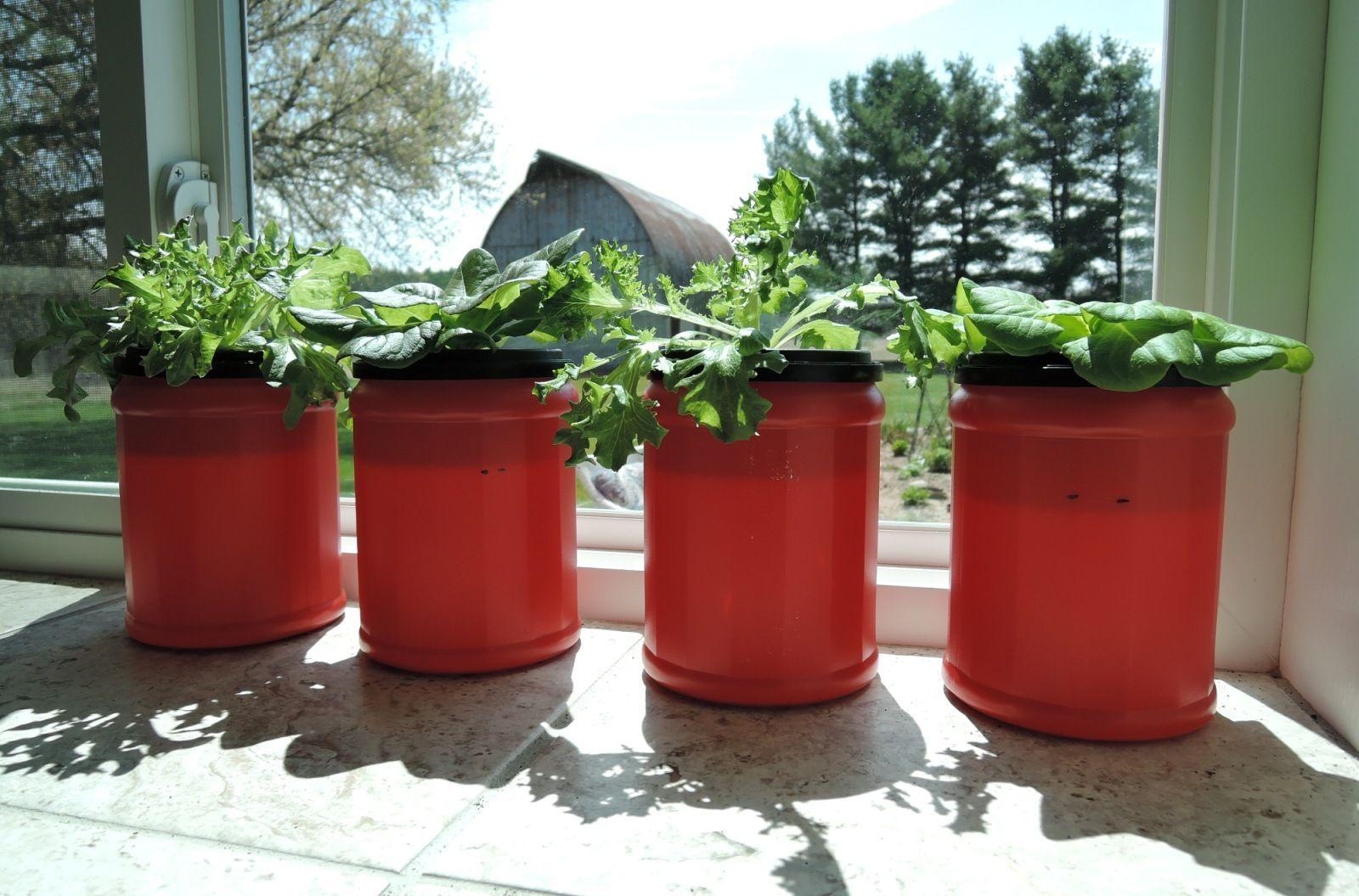 Growing lettuce cheap hydroponics diy hydroponicslettuce