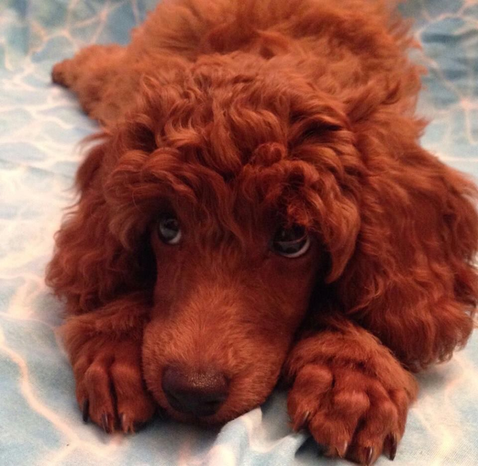 Red Poodle puppy
