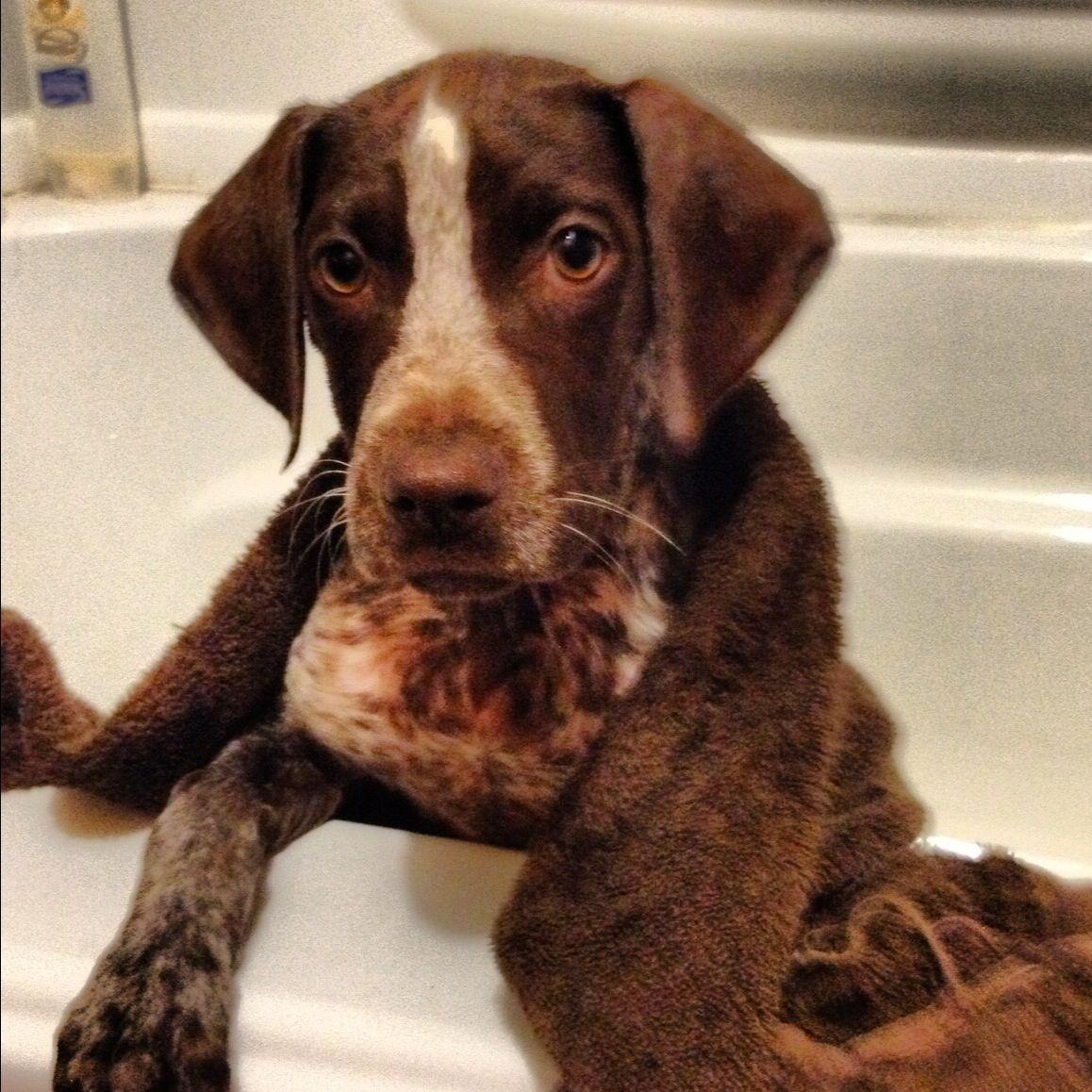Resultado de imagen para pointer dog bath time