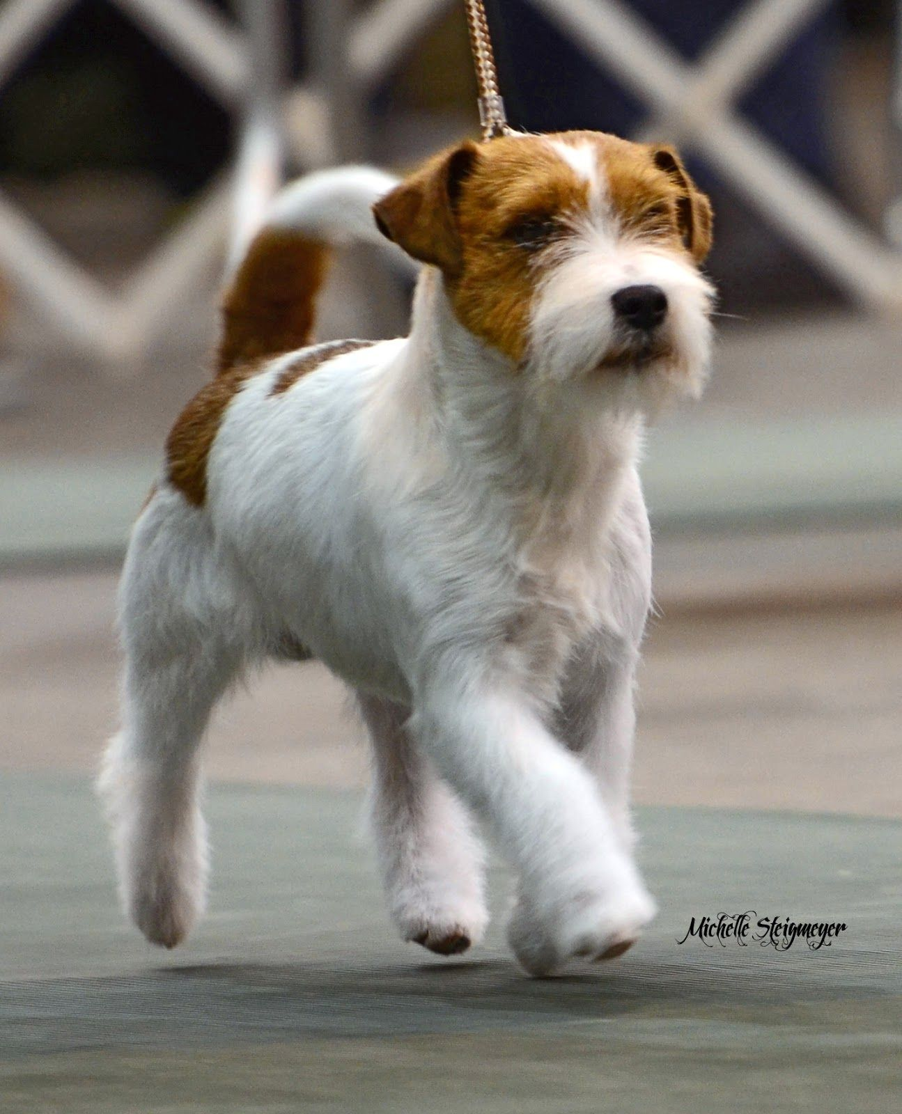 Wire Haired Jack Russell Terrier And Cute Russell Terrier