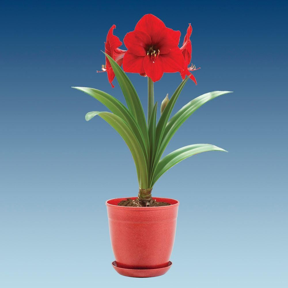 Bloomsz Economy Red Lion Amaryllis With Red Pot 08210 The Home Depot Amaryllis Flowers Amaryllis Flower Pots