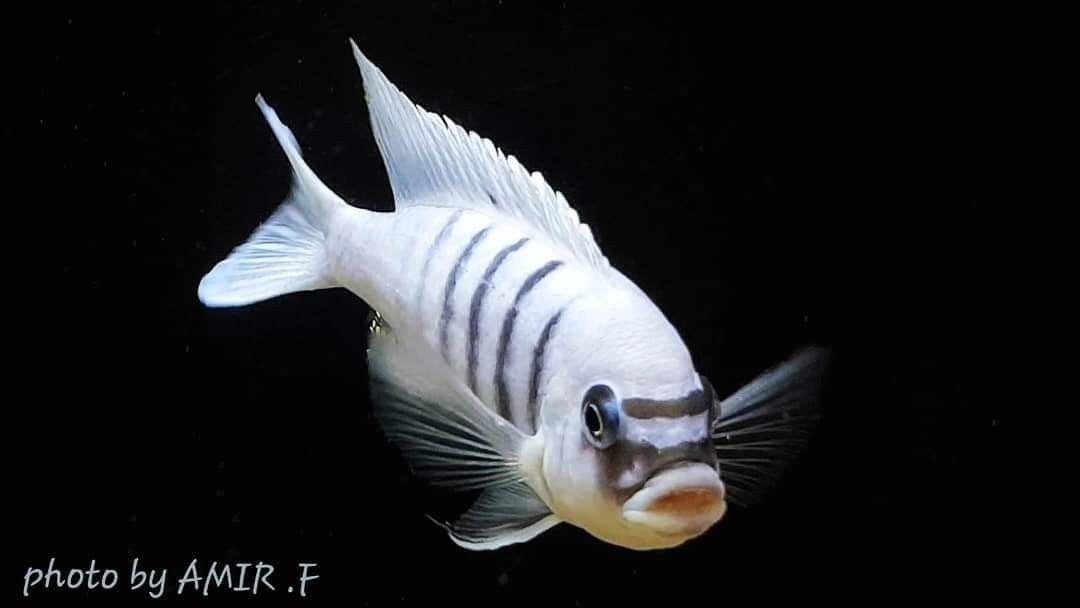 Pin By ธ ลน ส ทธ พงศ On Aquarium Fish Aquarium Fish Cichlids Malawi Cichlids