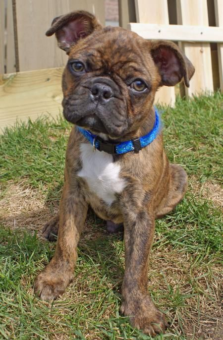 Cutest Dog Ever Bowzer The Pug Boston Terrier Mix Bugg Puppies
