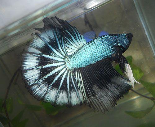 Dragon green black fancy bettas pinterest betta for Black betta fish