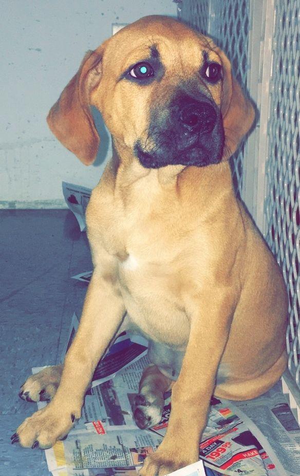 Boxador Dog For Adoption In Royal Palm Beach Fl Adn  On Puppyfinder