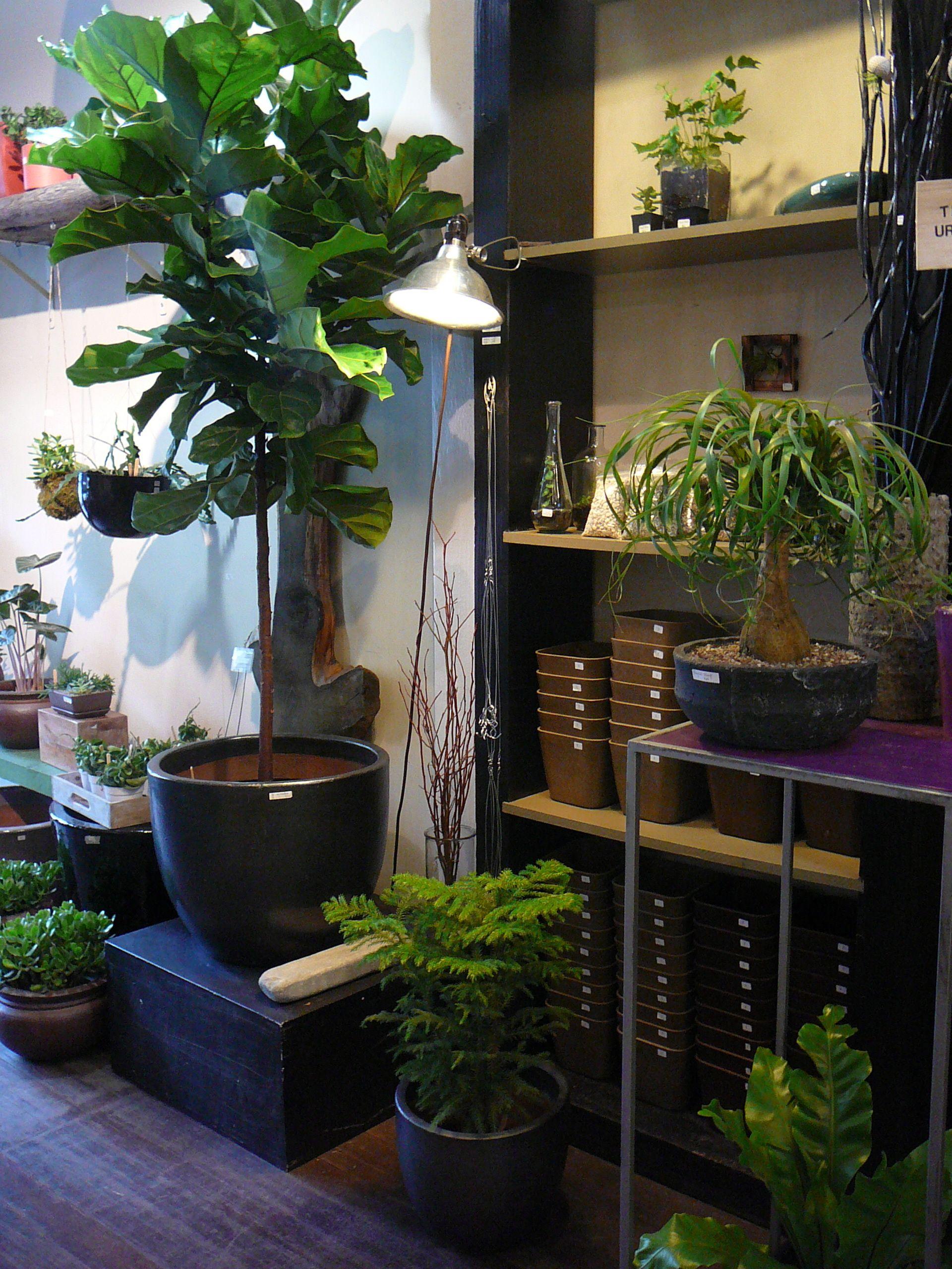 norfolk pine araucaria heterophylla green grow. Black Bedroom Furniture Sets. Home Design Ideas