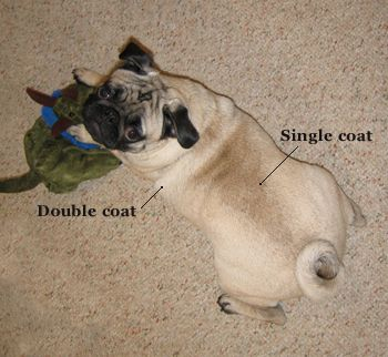 Pug Skin And Coat Pugs Animals Dogs