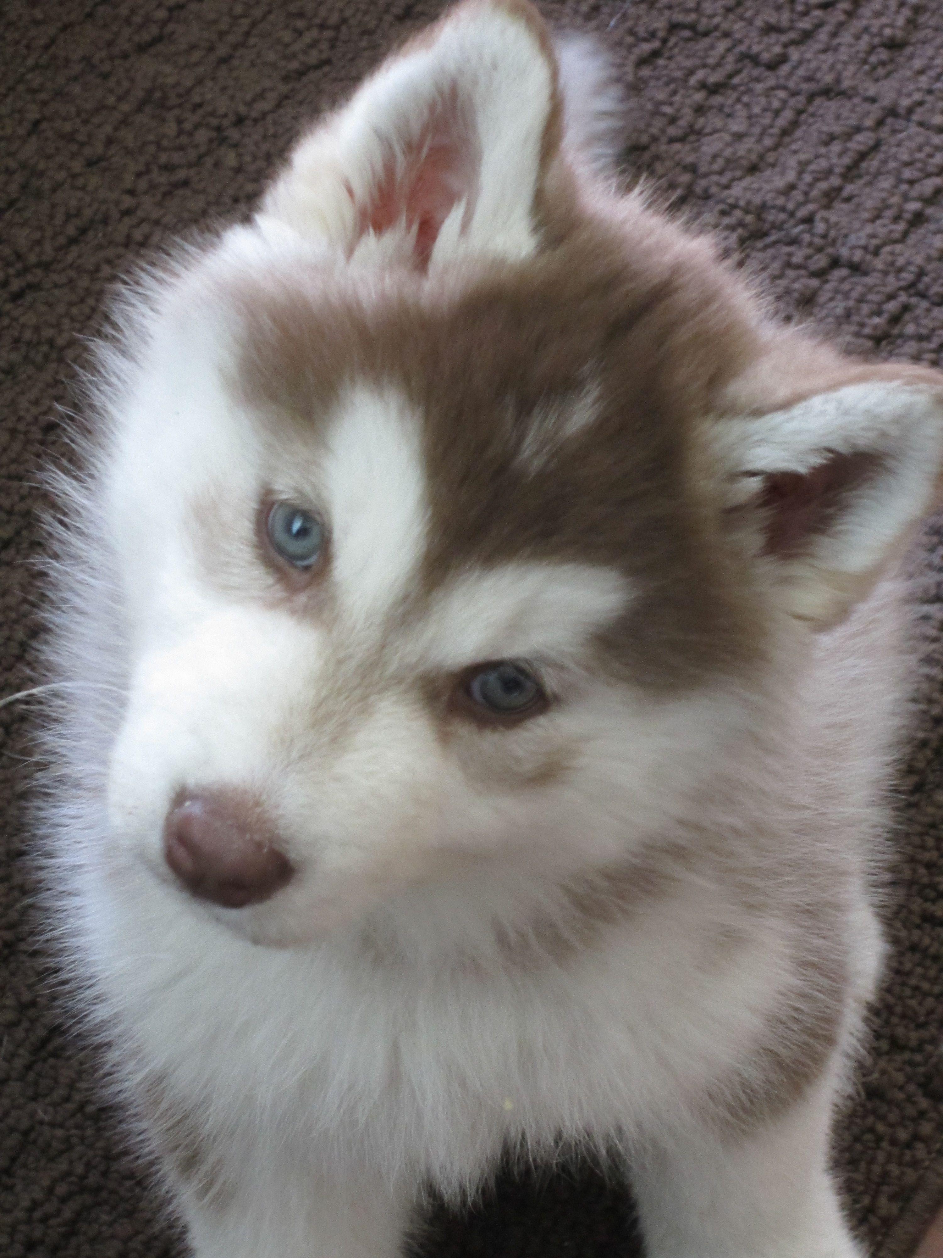 Husky Pup Husky Siberian Husky Husky Puppy