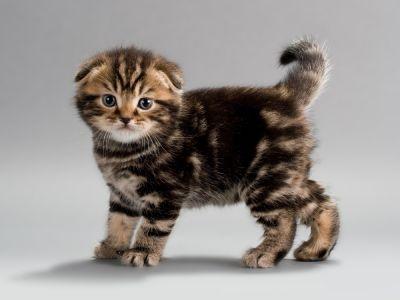 Scottish Fold Cats Scottish Fold Kittens Kittens Cutest Baby Animals Pictures
