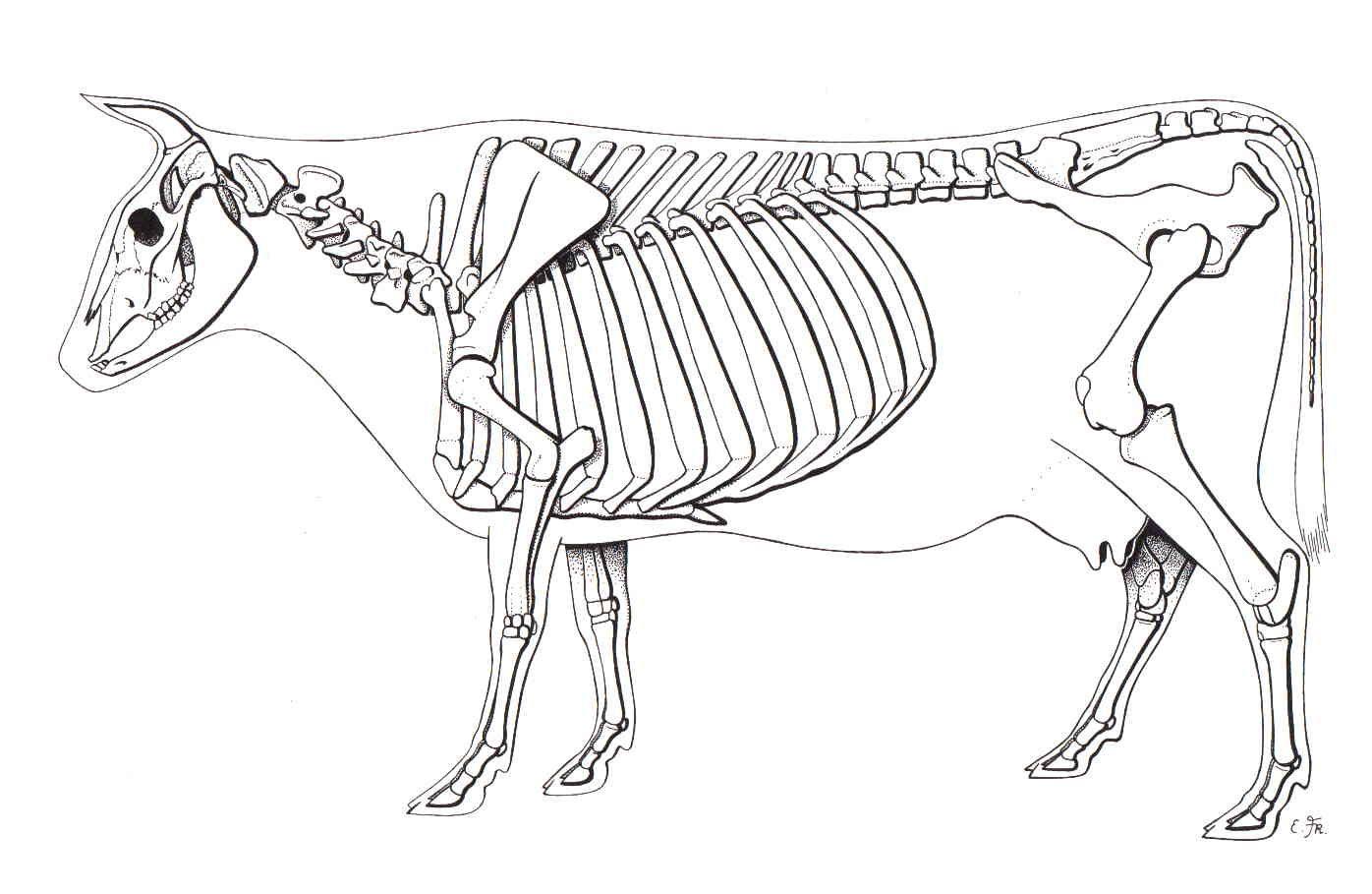 Cow Skeletal Diagram Wiring Info