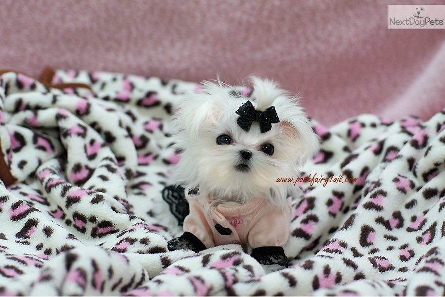 Meet Olivia A Cute Maltese Puppy For Sale For 0 Olivia Sold Maltese Puppy Puppy Breeds Maltese Puppies For Sale