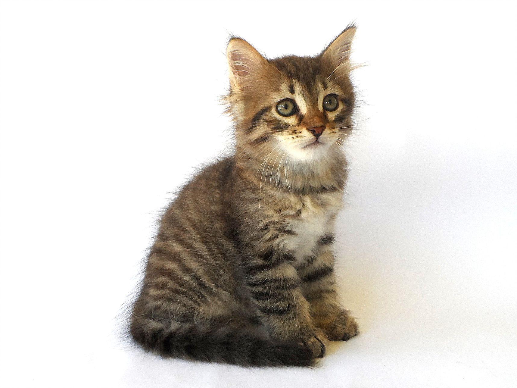 Best 25 Siberian cat breeders ideas on Pinterest