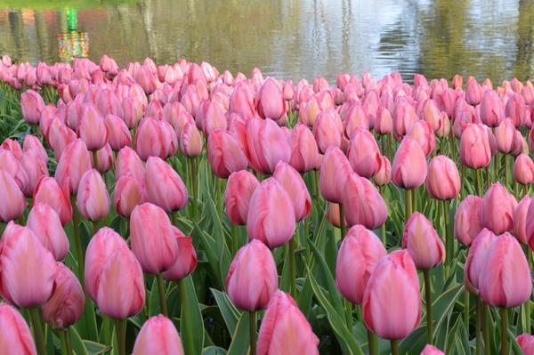 Tulip Design Impression Tulip Design Bulb Flowers Tulips