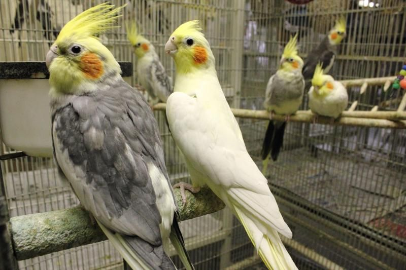 Adopt Cockatiels On Petfinder Cockatiel Parrot Rescue Animals