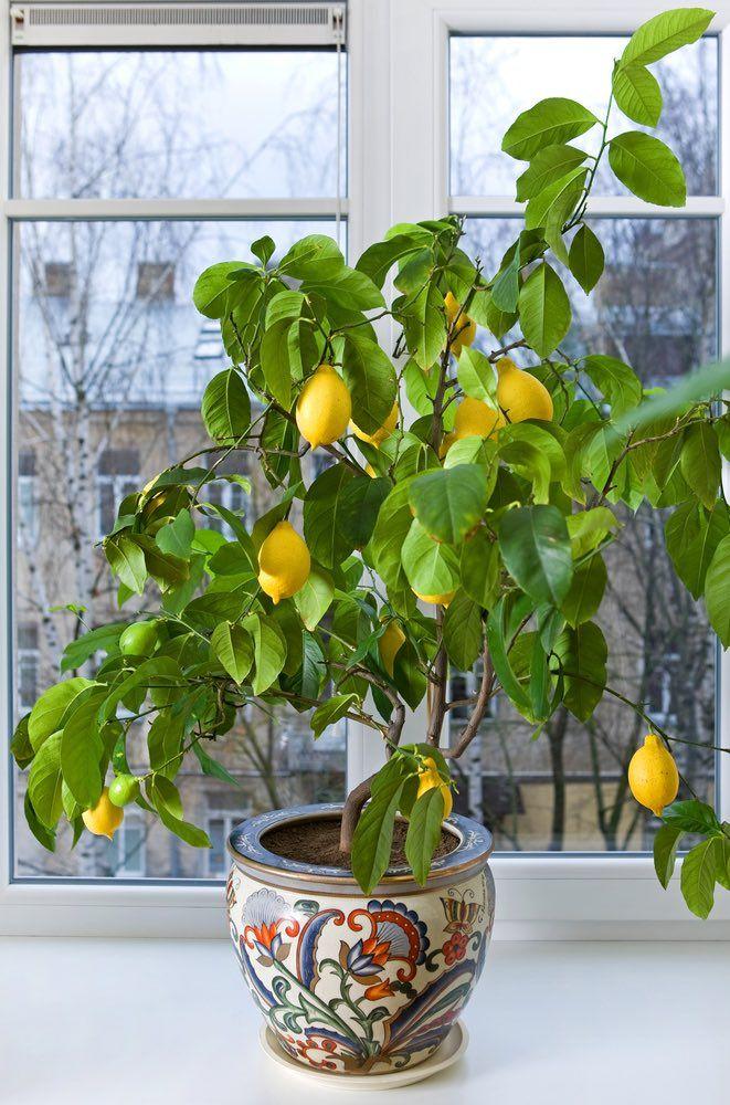 8 cultivos de interior para el invierno jardiner a for Planta perenne en maceta de invierno