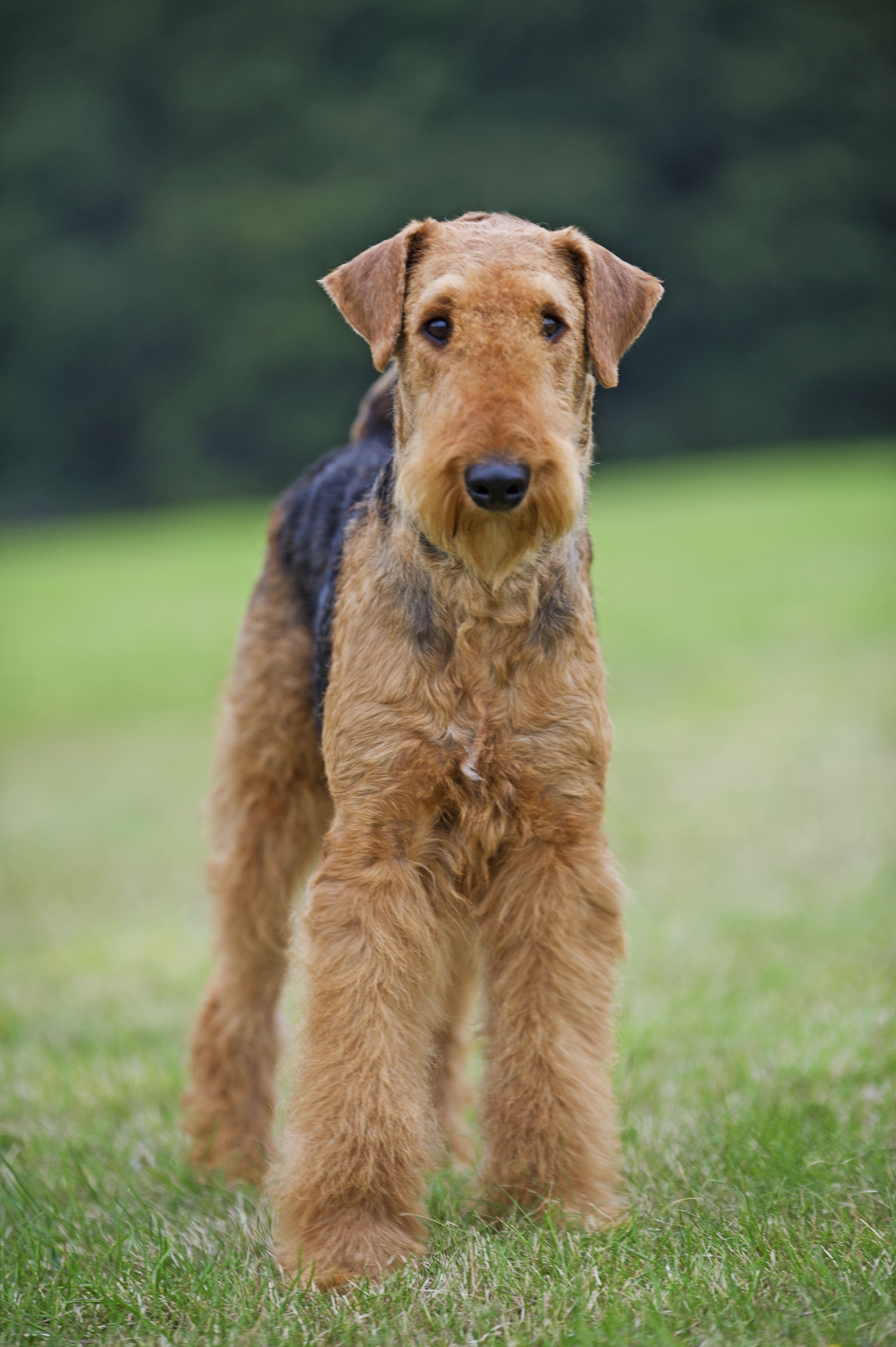 Airedale Terrier With Images