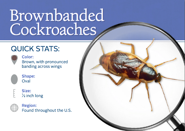 Cockroach Facts And Prevention Tips For Brownbanded Cockroaches