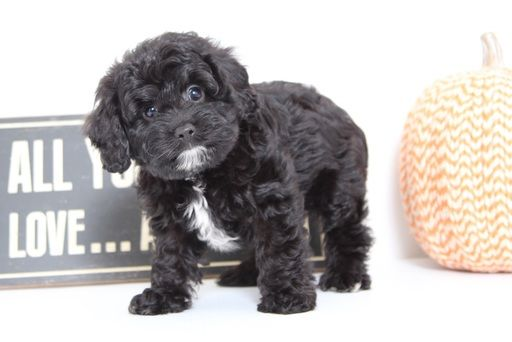 View Ad Details ADN49459. Johnny Male Cavapoo Puppy
